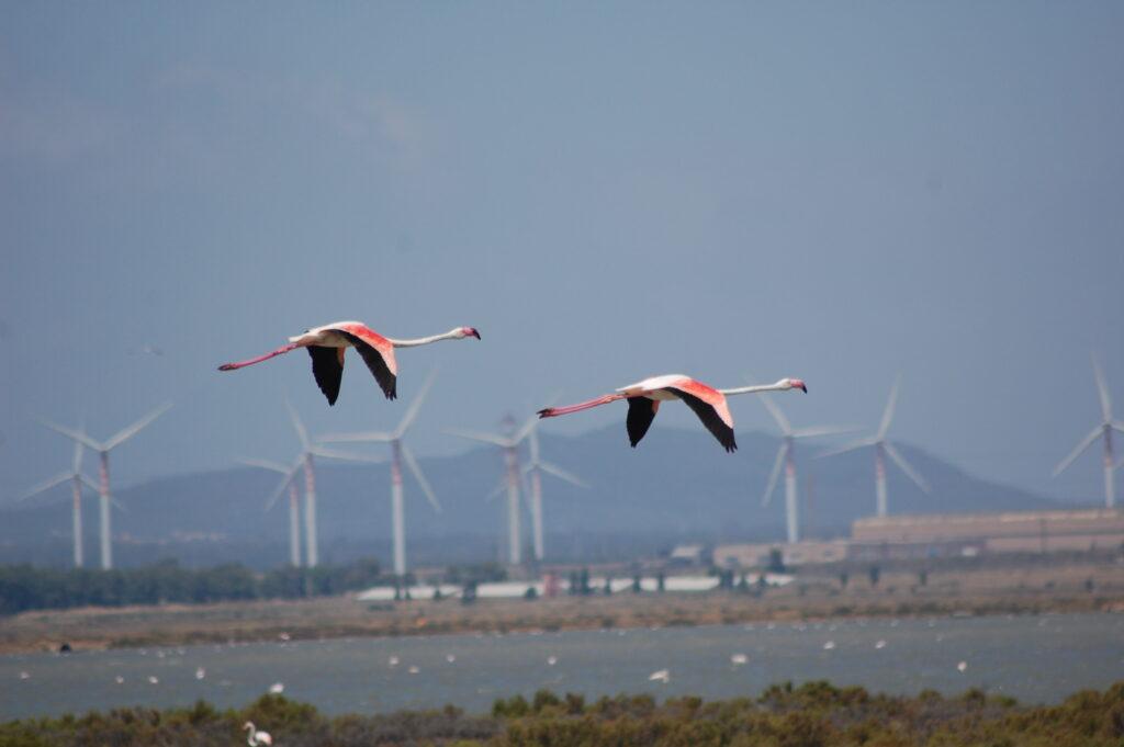 Fenicotteri volano davanti a delle pale eoliche