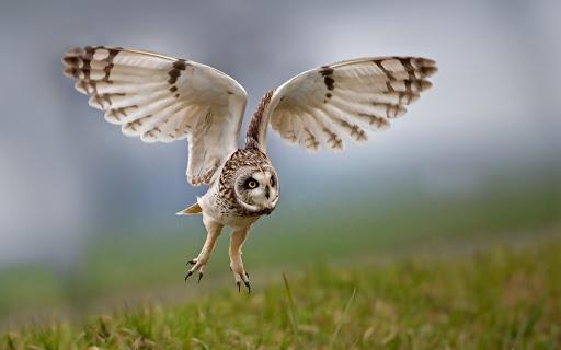 Gufo con le ali spiegate
